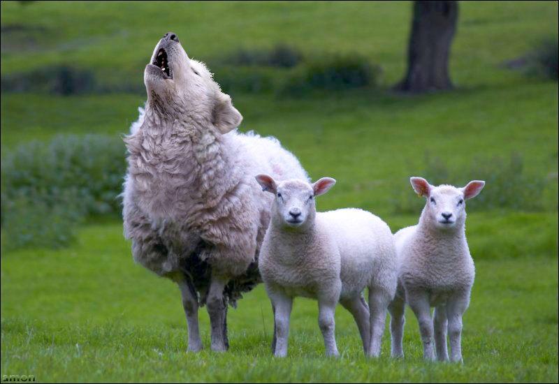 Resultado de imagem para lobo apascentando cordeiros