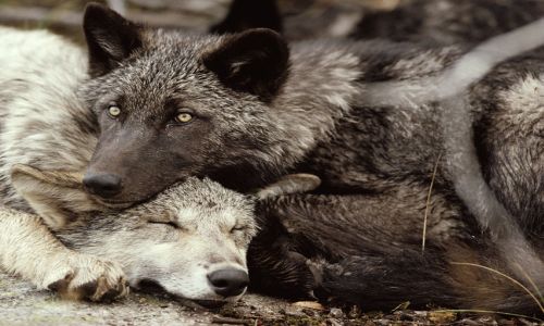 Wolves chilling